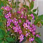 鉢植えのワックスフラワー