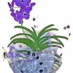 バンダの鉢植えギフト