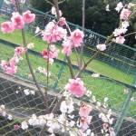 3月3日の誕生花-桃