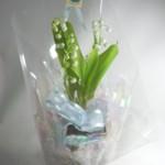 鈴蘭の鉢植えギフト
