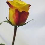 バラ(ホットメレンゲ)