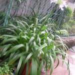 鉢植えのアガパンサス