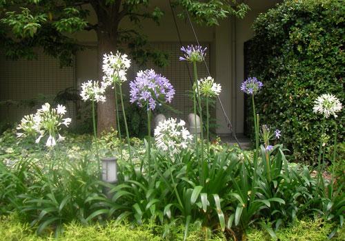 アガパンサスの花壇