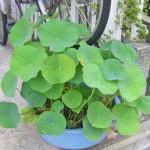 鉢植えのハス