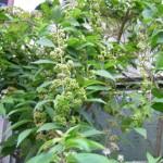 murasakisikibu1