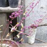 ムラサキシキブの鉢植え