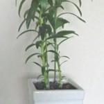 鉢植えの鉄砲百合