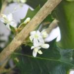 ヒイラギの花