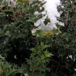 雪をかぶったヒイラギ