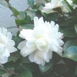 椿-八重咲