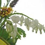 ケマンソウ-白花