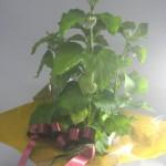 酸漿の鉢植えギフト