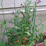 鉢植えのホトトギス