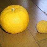 カラタチと柚子