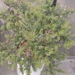 鉢植えのローズマリー