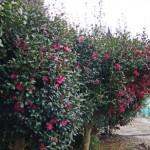 山茶花(サザンカ)の生垣