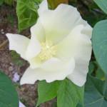 コットンツリーの花