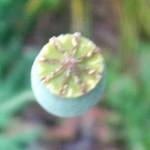カリフォルニアポピーの種