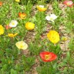 花壇のポピー
