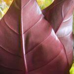 アンスリウムの葉