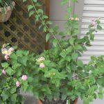 鉢植えのランタナ