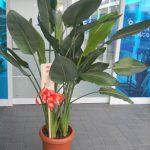 ストレリチアの鉢植えギフト