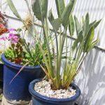 鉢植えのストレリチア