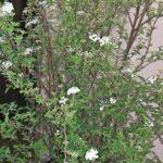 鉢植えのコデマリ