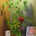 サンダーソニアと夏椿のアレンジ