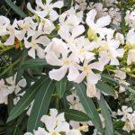 白花キョウチクトウ