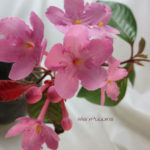 匂い桜(ニオイザクラ)