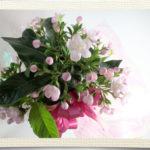 匂い桜の鉢植えギフト
