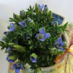 竜胆の鉢植えギフト