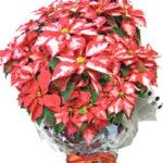 ポインセチアの鉢植えギフト