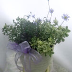 斑入りブルーデージーの鉢植えギフト