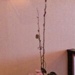 赤芽柳と丹頂アリウム