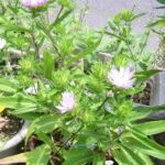 鉢植えのストケシア