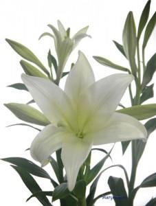 12月27日の誕生花