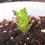 テッポウユリの新芽