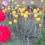 クラスペディアの鉢植え