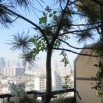 鉢植えの松