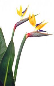 1月13日の誕生花