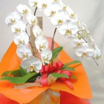 コチョウランの鉢植えギフト