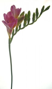 1月11日の誕生花「フリージア」