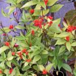 センリョウの鉢植え