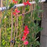 鉢植えのスイートピー