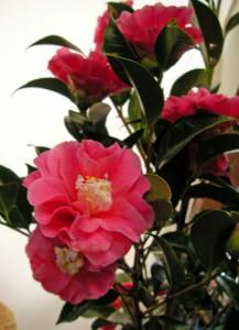 1月12日の誕生花