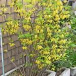 鉢植えのレンギョウ