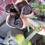 アマリリスの種