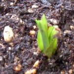 チューベローズの芽